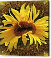 Still Life With Sunflower Acrylic Print