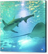 Sting Ray And Shark Acrylic Print