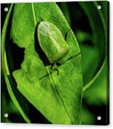 Stink Bug On Leaf Acrylic Print