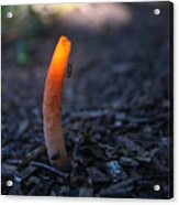 Stinkhorn Fungus With Fly Feeding Acrylic Print
