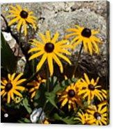 Stone Flowers Black Eyed Susan Acrylic Print