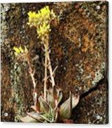 Stonecrop Acrylic Print