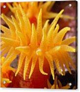 Stony Cup Coral Acrylic Print