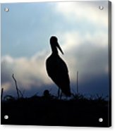 Stork In Evening Light Acrylic Print