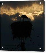 Stork With Evening Sun Light  Acrylic Print