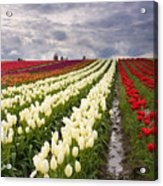 Storm Over Tulips Acrylic Print by Mike  Dawson