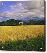 Stormy Old Barn In Wheat Field 2 Acrylic Print