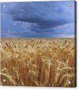 Stormy Wheat Field Acrylic Print
