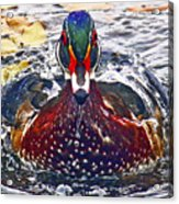 Straight Ahead Wood Duck Acrylic Print