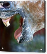 Straight From The Horse's Mouth Acrylic Print