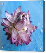 Straw Flower On Blue Acrylic Print