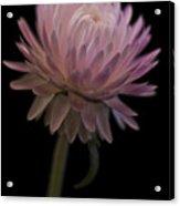Straw Flower Acrylic Print