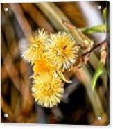 Straw Flowers Acrylic Print