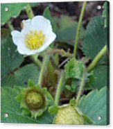 Strawberry Bloom And Baby Berries Acrylic Print