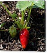 Strawberry Plant Acrylic Print