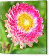 Strawflower Acrylic Print