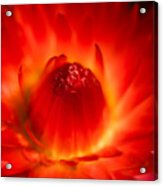 Strawflower Sombrero Acrylic Print