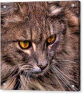 Stray Cat Acrylic Print