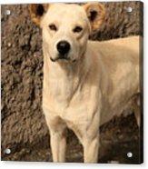 Stray White Dog Acrylic Print