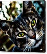 Street Cat II Acrylic Print