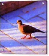 Street Dove Acrylic Print