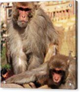 Kathmandu Street Monkeys  Acrylic Print