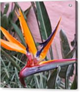 Strelitzia Double Bloom Acrylic Print