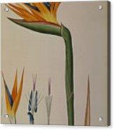 Strelitzia Reginae Acrylic Print