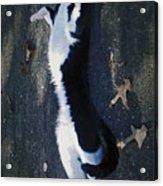 Stretchy Cat Acrylic Print