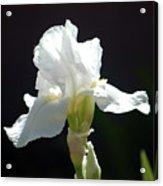Striking White Iris Acrylic Print