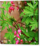 String Of Bleeding Hearts Acrylic Print