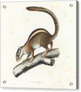 Striped Bush Squirrel, Paraxerus Flavovittis Acrylic Print