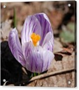 Striped Crocus Acrylic Print