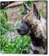 Striped Hyena Acrylic Print