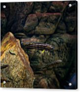 Striped Little Fishes In Aquarium Acrylic Print