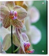 Striped Orchid 1 Acrylic Print