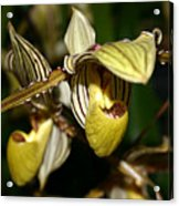 Striped Orchid Acrylic Print