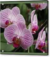 Striped Orchids With Border Acrylic Print