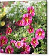 Striped Petunias Acrylic Print