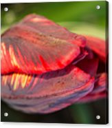 Striped Red Tulip Acrylic Print