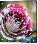 Striped Rose  Acrylic Print