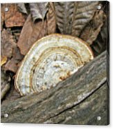 Striped Shelf Fungus - Basidiomycota Acrylic Print