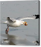 Stripped Billed Gull With Shell Acrylic Print