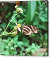 Stripped Butterfly Acrylic Print