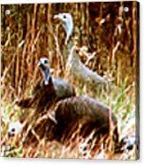 Stroll Of The Turkey Acrylic Print