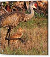 Strolling Sandhill Crane Family Acrylic Print