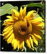 Strolling Through The Sunflowers Acrylic Print