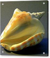 Strombus Inermis Seashell Acrylic Print