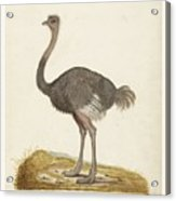 Struisvogel, Anonymous, 1560 - 1585 Acrylic Print