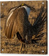 Strutting And Puffing Acrylic Print